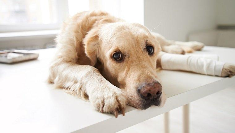 Bone Cancer In Dogs: Symptoms, Causes, & Treatments