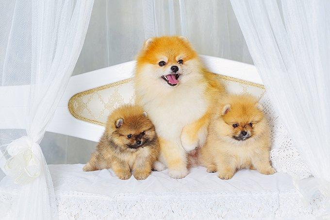 Pomeranian Puppies: Facts And Adorable Pictures