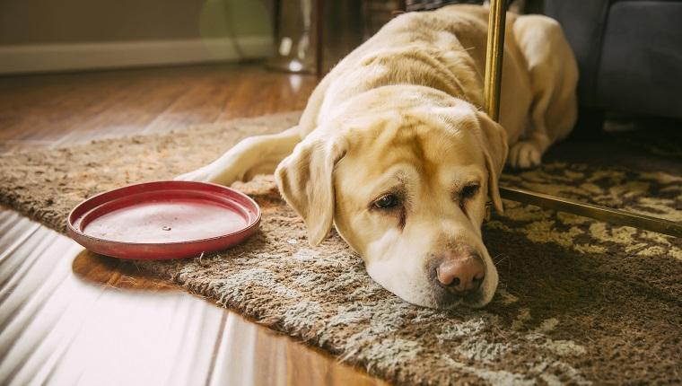 Liver Cancer In Dogs: Symptoms, Causes, & Treatments