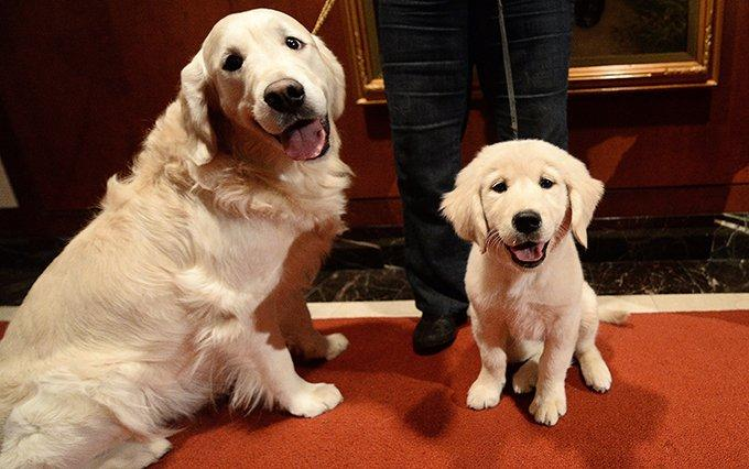 Golden Retriever Puppies: Pictures And Facts