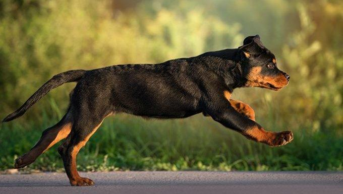 Rottweiler Puppies: Pictures And Facts