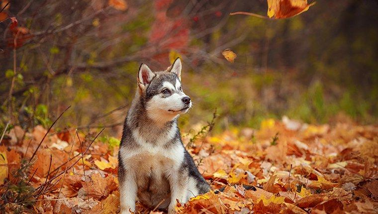 Alaskan Malamute Puppies: Facts And Pictures
