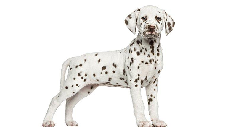 Dalmatian Puppies: Pictures And Facts