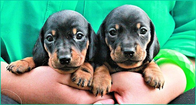 Dachshund Puppies: Pictures And Facts