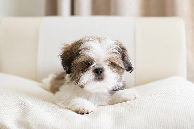 Shih Tzu Puppies: Adorable Pictures And Facts