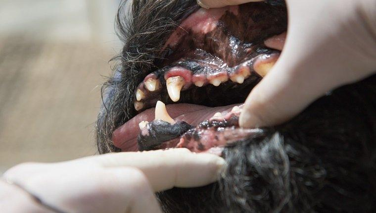 Gingivitis In Dogs: Symptoms, Causes, & Treatments