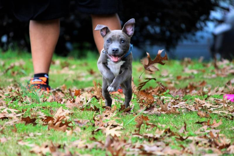 Pit Bull Puppies: Facts And Cute Pictures