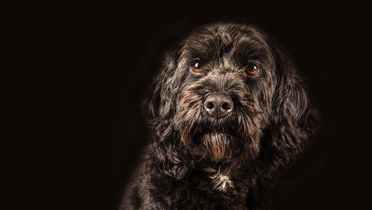 Cockapoo Puppies: Pictures And Facts