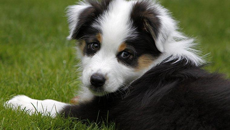 Australian Shepherd Puppies: Pictures And Facts