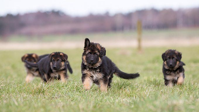 German Shepherd Puppies: Cute Pictures And Facts